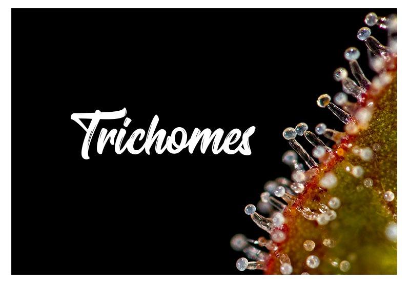 Understanding Marijuana Trichomes