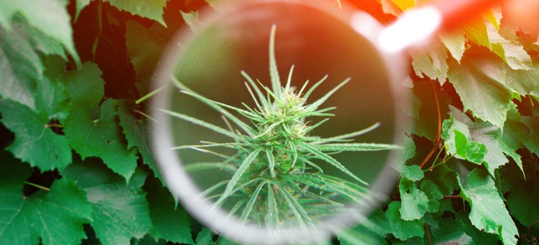 marijuana magnified