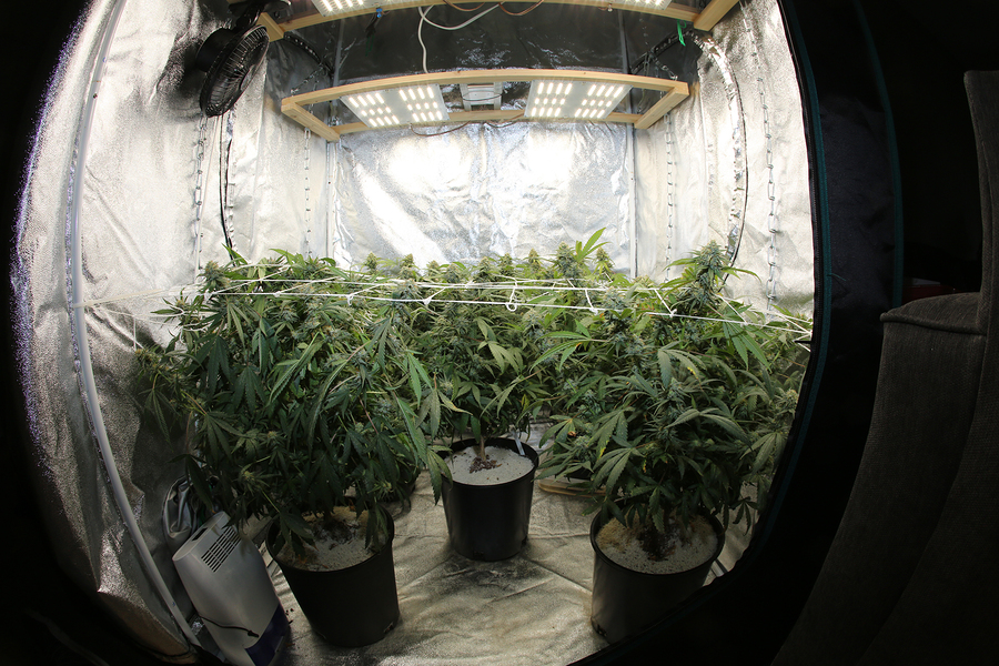 best indoor cannabis seeds