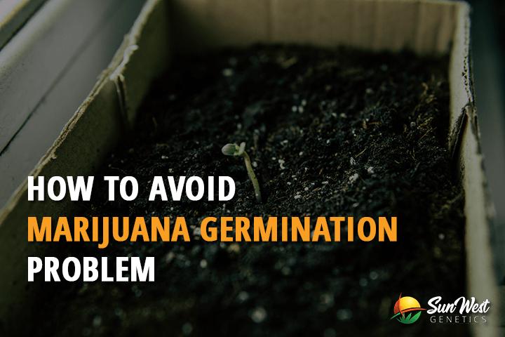 marijuana germination problems