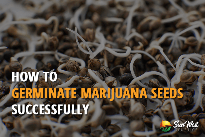 germinate marijuana seeds