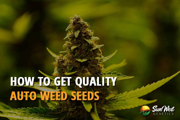 auto weed seeds