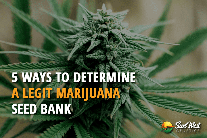 5 Ways to Determine a Legit Marijuana Seed Bank
