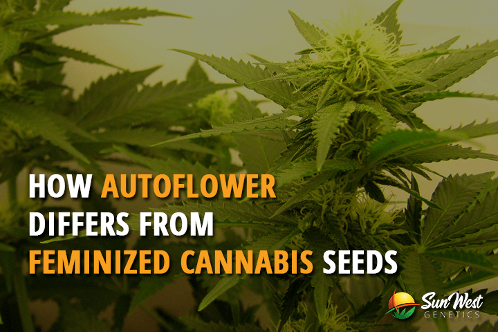 How Auto Flower Differs From Feminized Cannabis Seeds