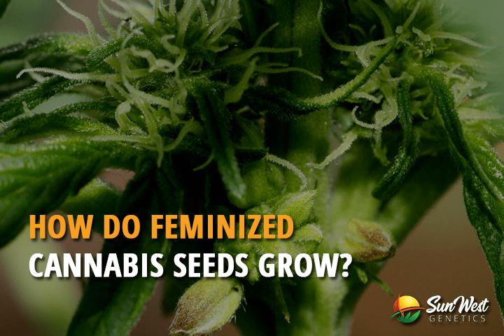 How Do Feminized Seeds Cannabis Grow