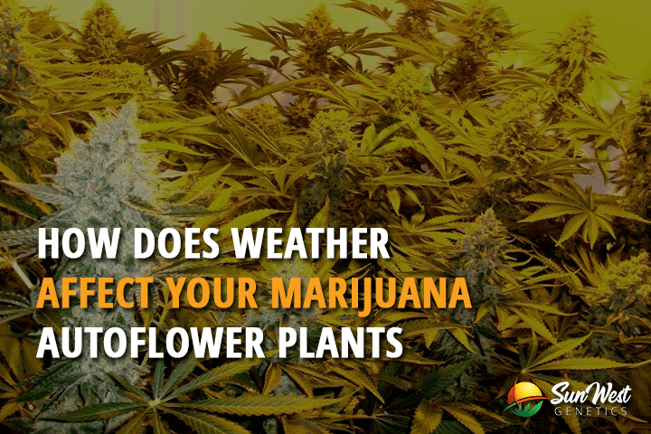 How Does Weather Affect Your Marijuana Autoflower Plants
