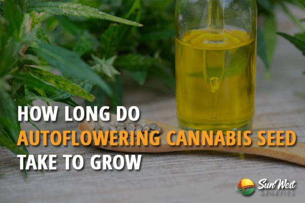 How Long Do Autoflowering Cannabis Seed Take to Grow?