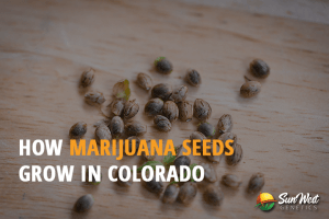 buying marijuana seeds Colorado