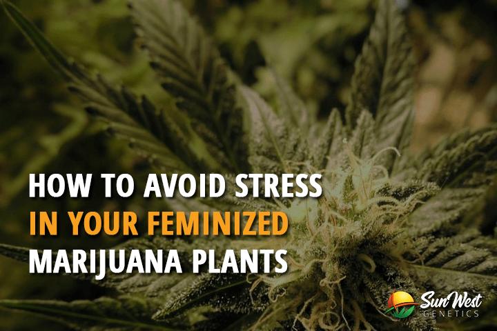 How to Avoid Stress in Your Feminized Marijuana Plants