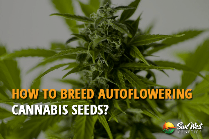 How to Breed Autoflowering Cannabis Seeds?