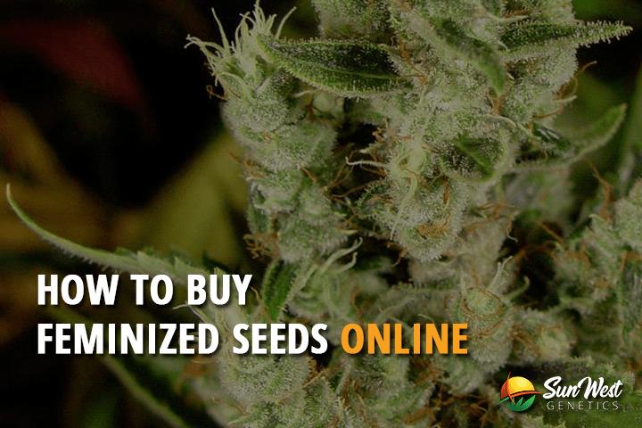 How to Buy Feminized Marijuana Seeds Online?