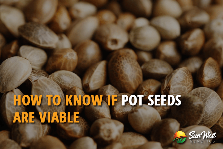 How to know if Pot Seeds are Viable?