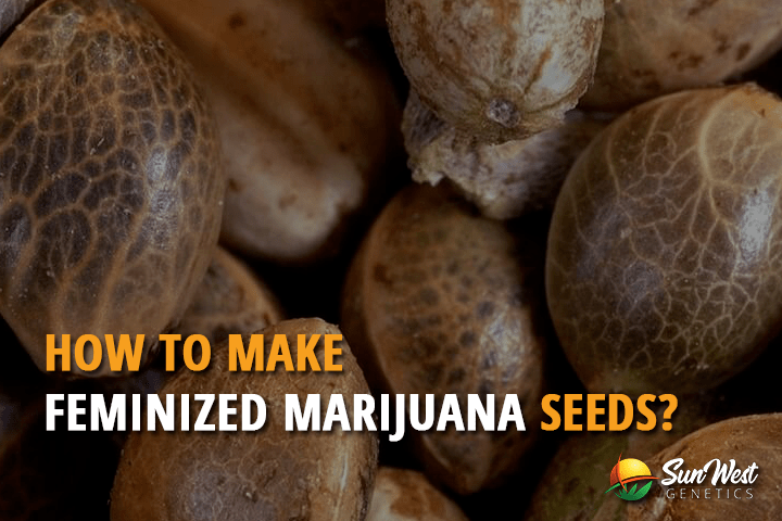 How to Make Feminized Marijuana Seeds?