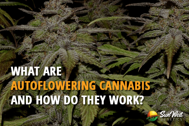 What are Auto Feminized Seeds and How do They Work?