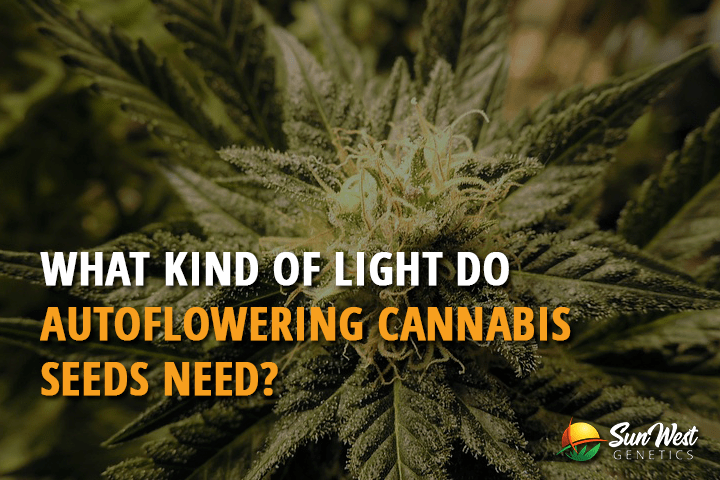 What Kind Of Light Do Autoflowering Cannabis Seeds Need
