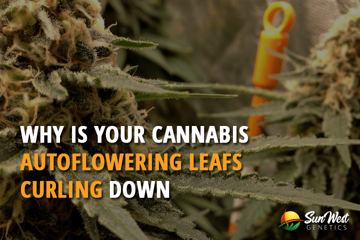 Why Is Your Cannnabis Autoflowering Leafs Curling Down