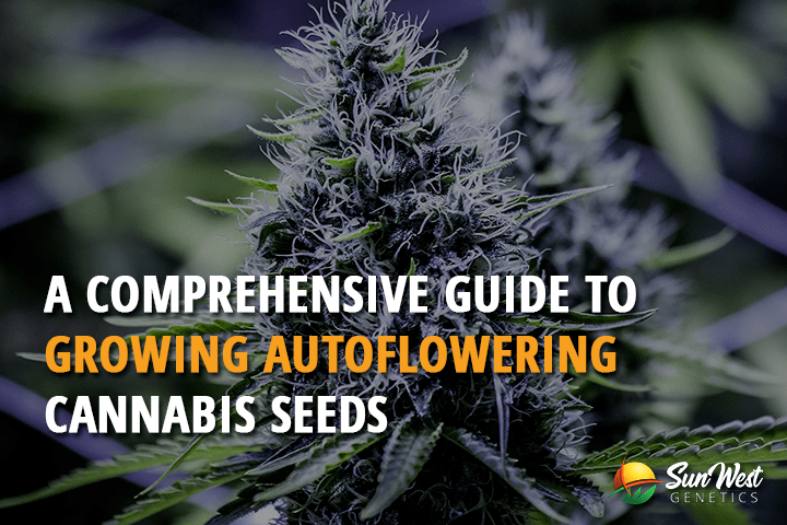 A Comprehensive Guide to Growing Autoflowering Cannabis Seeds