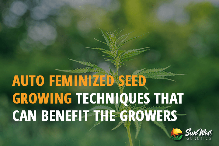 best autoflowering seeds feminized
