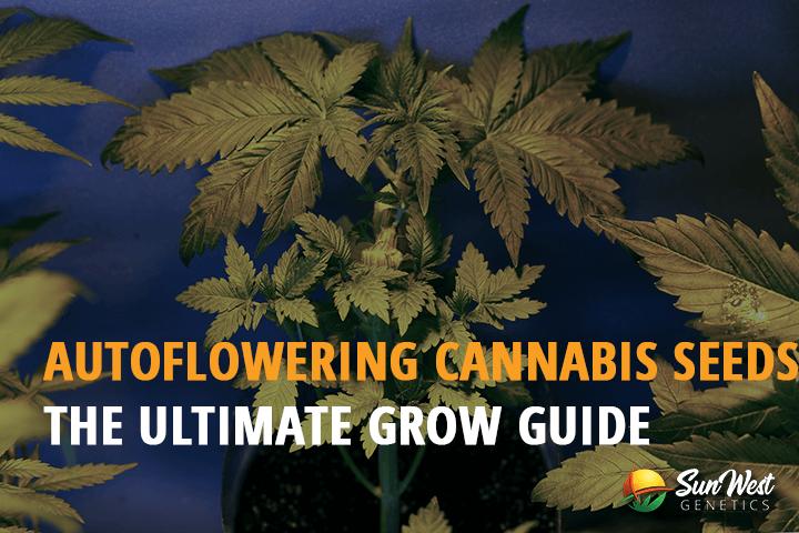 autoflowering cannabis seeds grow guide