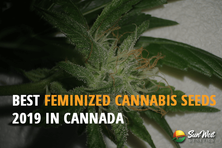 feminized cannabis seeds from canada