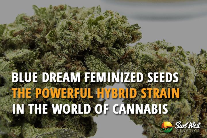 Blue Dream Feminized Seeds – The Powerful Hybrid Strain in the World of Cannabis