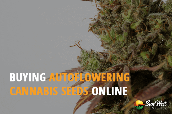 buy autoflowering cannabis seeds