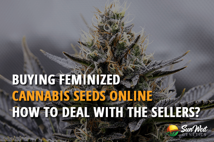 Buying Feminized Cannabis Seeds Online – How to Deal with Sellers?