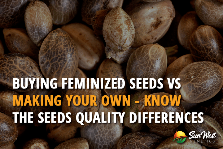 Buying Feminized Seeds VS Making Your Own – Know the Seeds Quality Differences