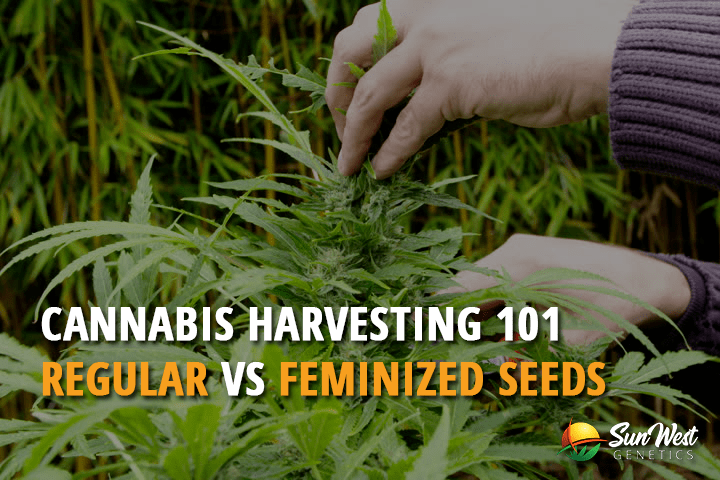 Cannabis Harvesting 101: Regular VS Feminized Seeds
