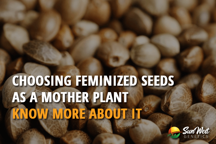 Choosing Feminized Seeds as a Mother Plant – Know More About it