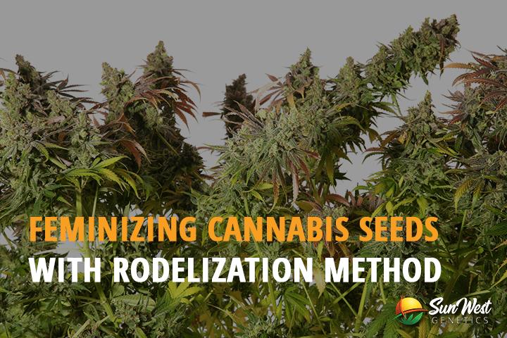 how to feminize cannabis seeds
