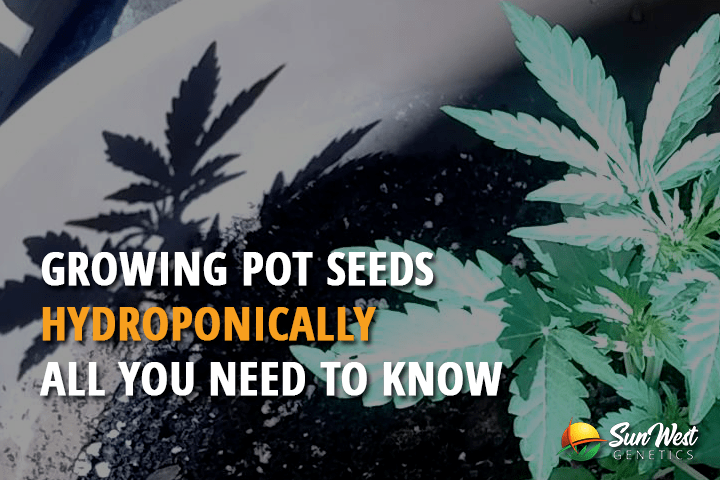Growing Pot Seeds Hydroponically – All You Need to Know