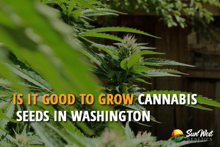 Is it Good to Grow Cannabis Seeds in Washington?