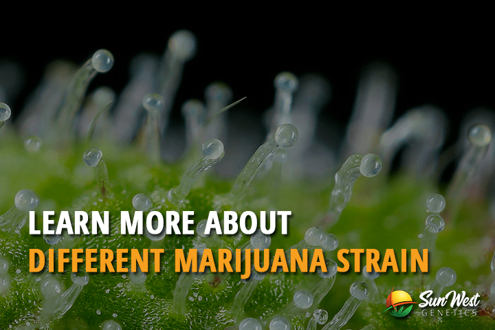 Learn More about Different Marijuana Strains