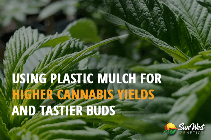 plastic mulch for cannabis growing