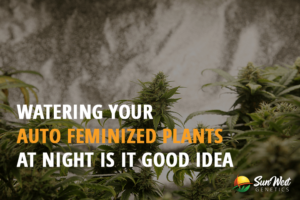 auto feminized cannabis plants