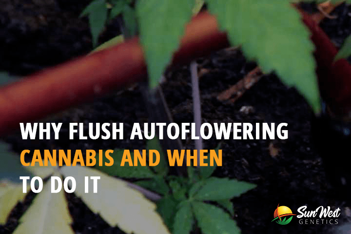 Why Flush Autoflowering Cannabis and When to Do it?