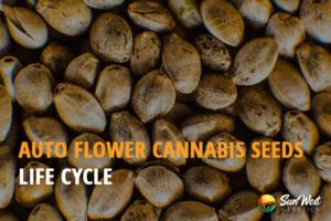 autoflower life cycle