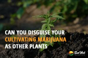 cultivating marijuana