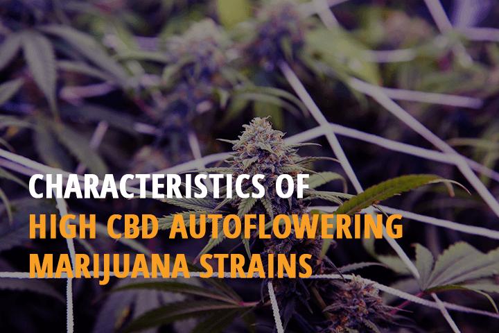 high cbd autoflowering marijuana strains