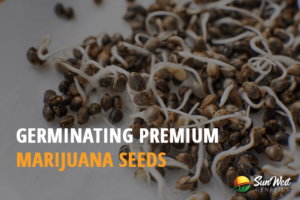 germinating premium marijuana seeds