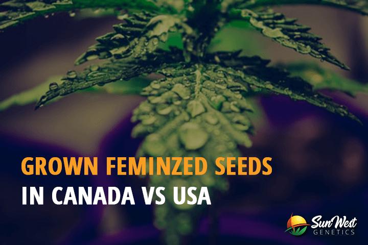 feminized seeds usa