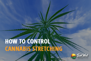 cannabis stretching
