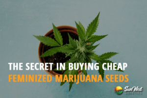 buying cheap feminized marijuana seeds