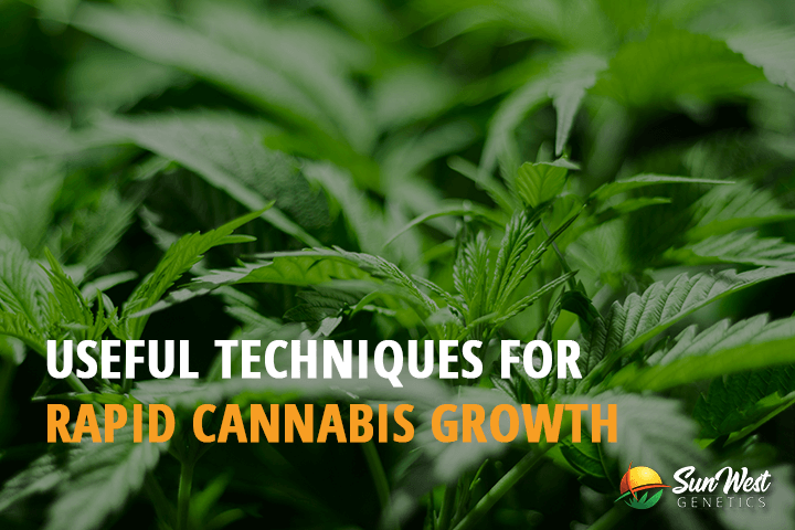 rapid cannabis growth