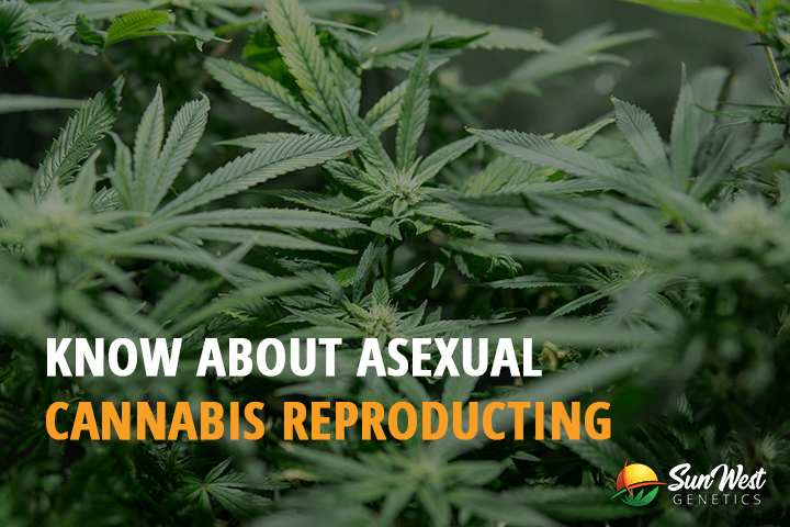 asexual cannabis reproduction