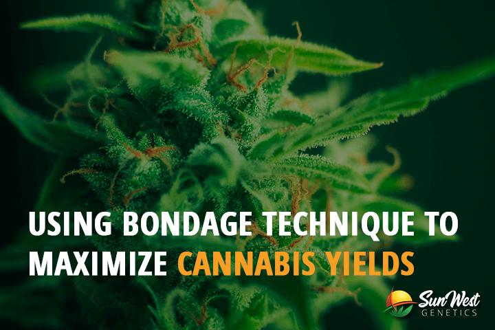 bondage cannabis