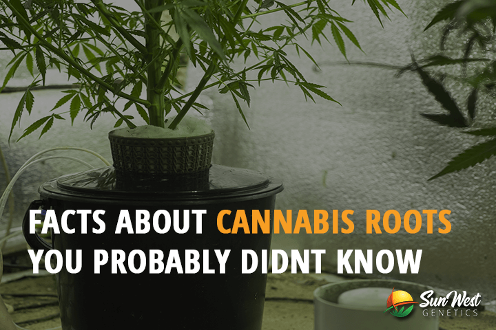 facts about cannabis roots