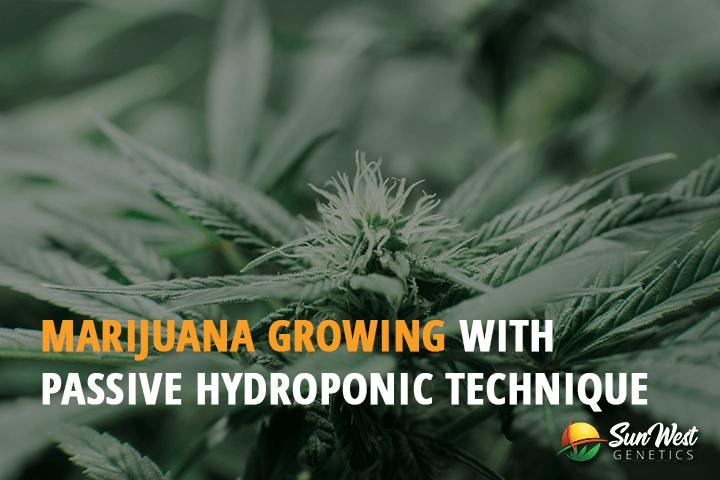 passive hydroponic growing marijuana