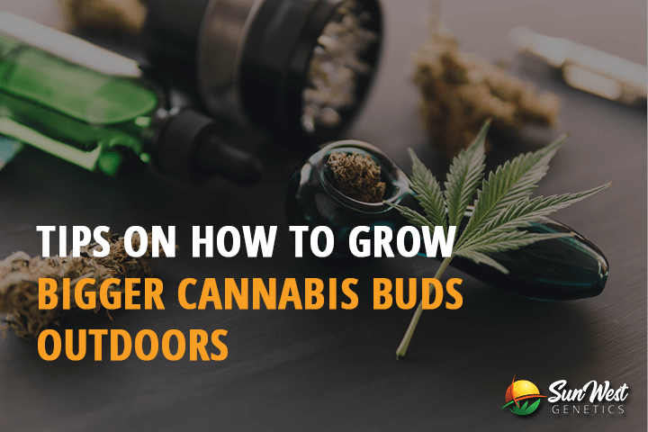 how to grow bigger cannabis buds outdoors